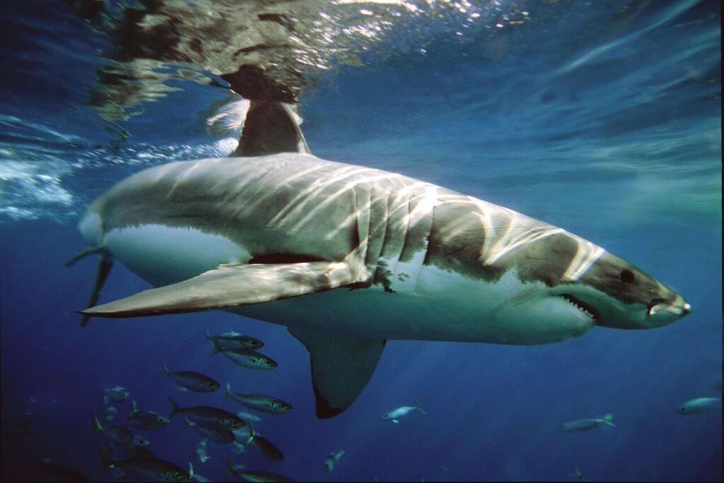 Aleta caudal del tiburón blanco :: Imágenes y fotos
