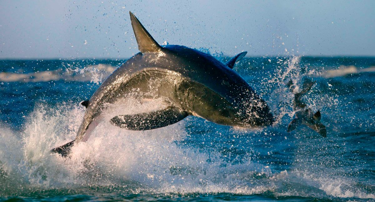 Tiburon Blanco Alimentacion on Imagenes Peces Colorear