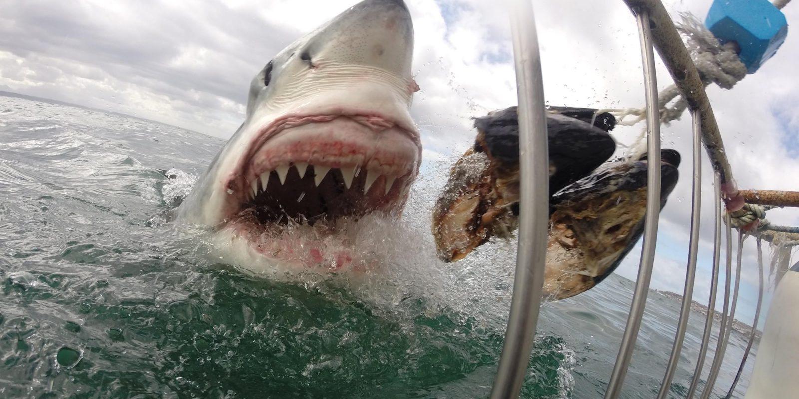 Galería De Imágenes Tiburón Blanco