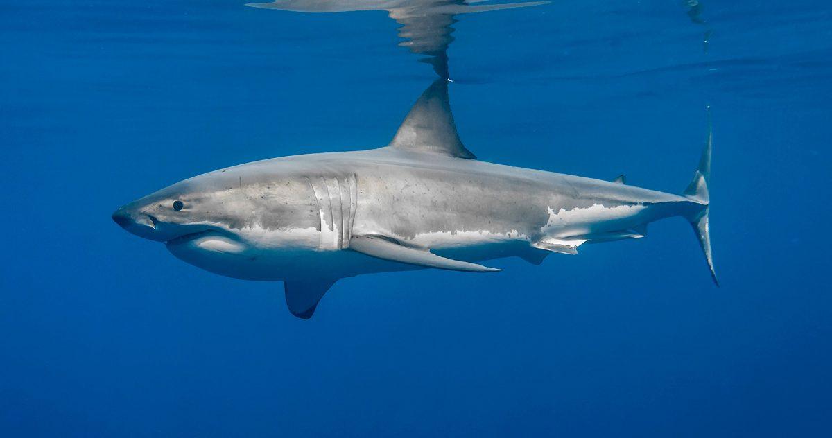 Anatomía del tiburón blanco