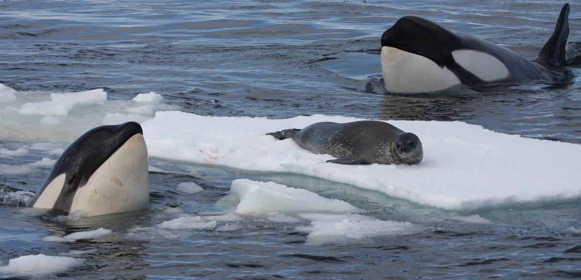 Características de las orcas