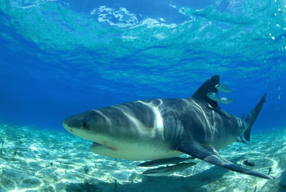 Curiosidades del tiburón blanco :: Imágenes y fotos