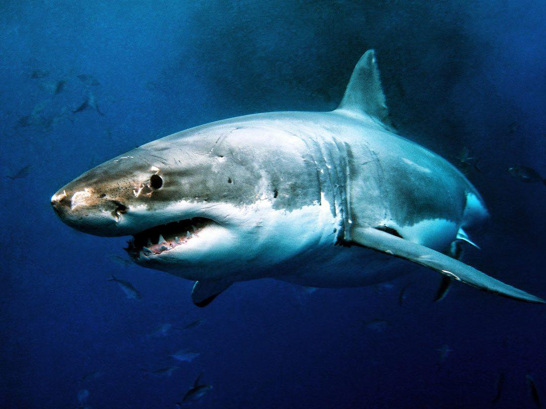 Galería de imágenes: Fotos de tiburones
