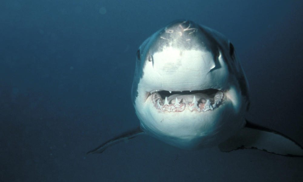 Gran tiburón blanco :: Imágenes y fotos
