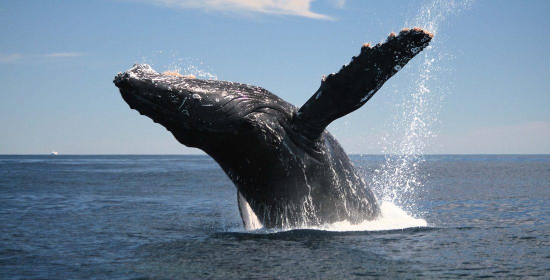 Las ballenas son peces?