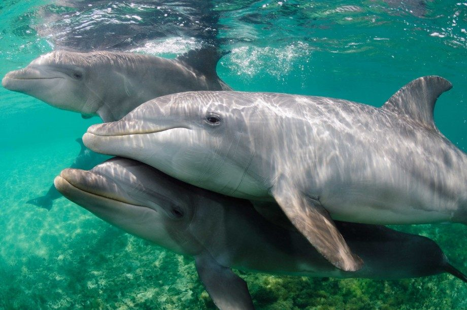 Dolphin Facts - Bottlenose Dolphins In Florida