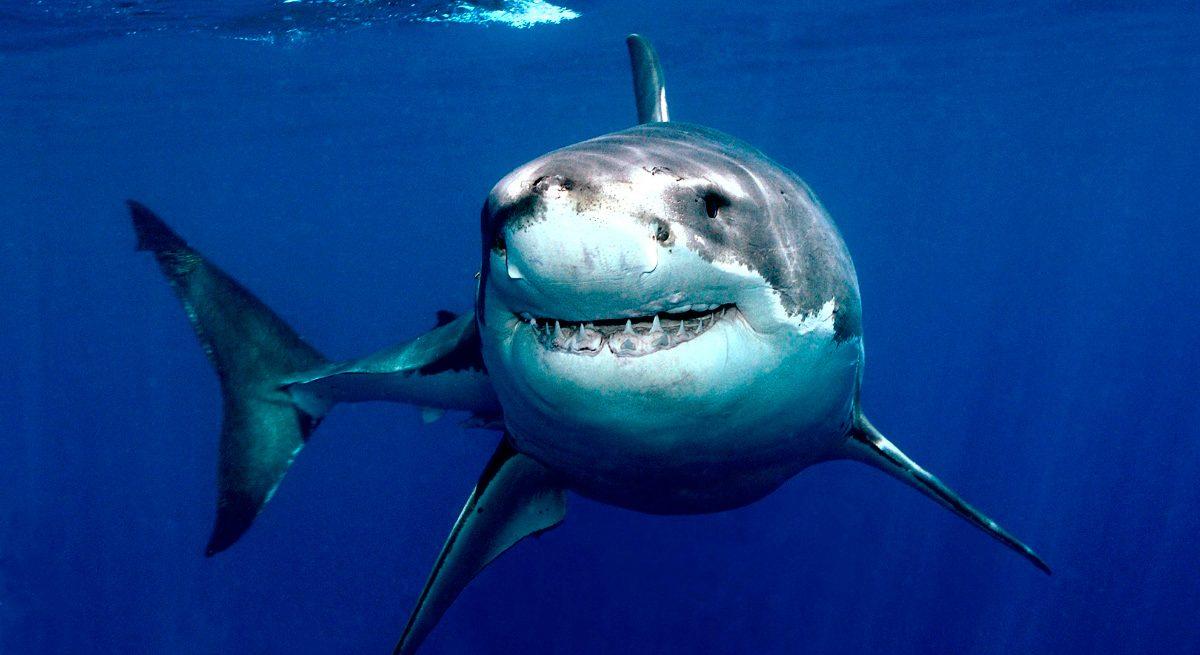 Técnicas de ataque del tiburón blanco
