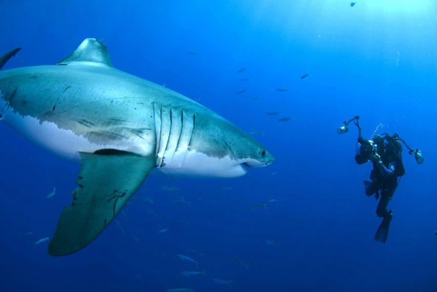 Perfecto Grandes Tiburones Blancos Para Colorear Componente ...