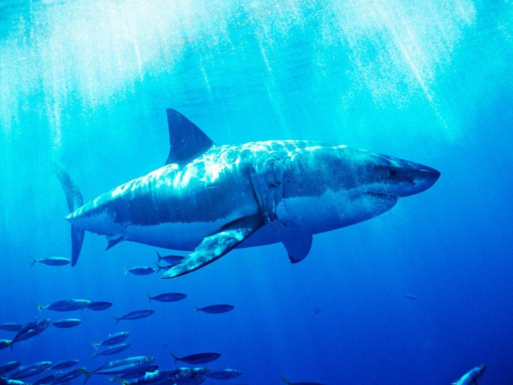 Tiburón y peces :: Imágenes y fotos